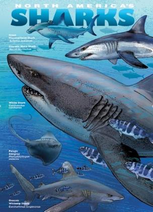 sharks-rays1