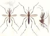Aedes_aegypti_E-A-Goeldi_1905
