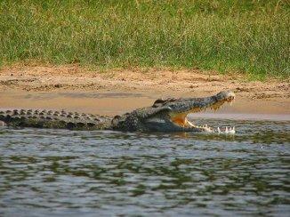 crocodylus_niloticus6